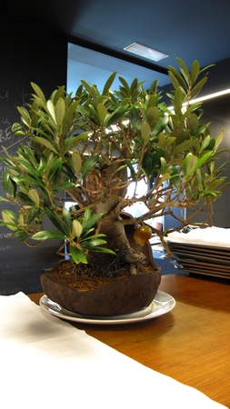 rocaolivebonsai.jpg